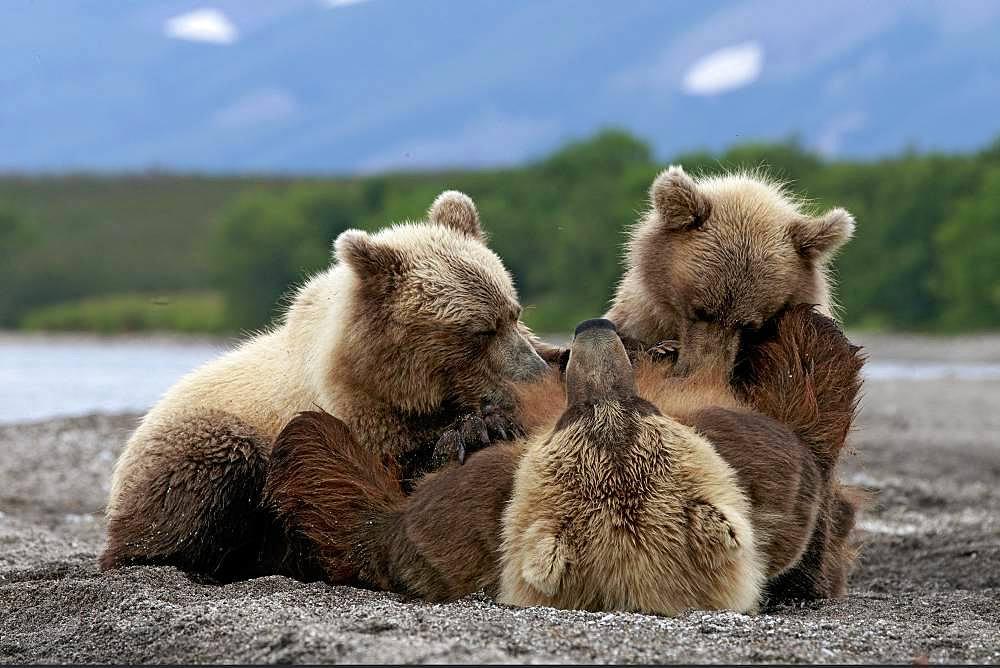 Kamchatka brown Bear (Ursus arctos beringianus) bear nursing her cubs on the bank, Kamchatka, Russia