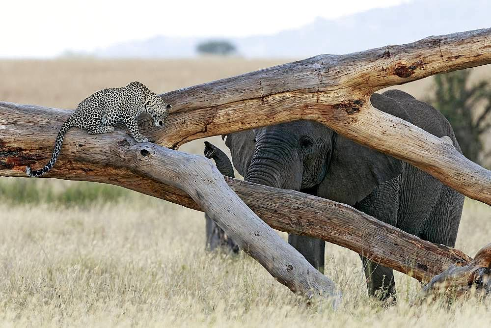 Leopard (Panthera pardus) facing an African elephant (Loxodonta africana), Serengeti, Tanzania. Glanzlichter 2015 - Germany - Highly Commended