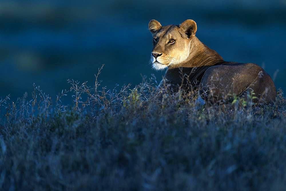 Lion (Panthera leo) lioness, Ngorongoro Conservation Area, Serengeti, Tanzania