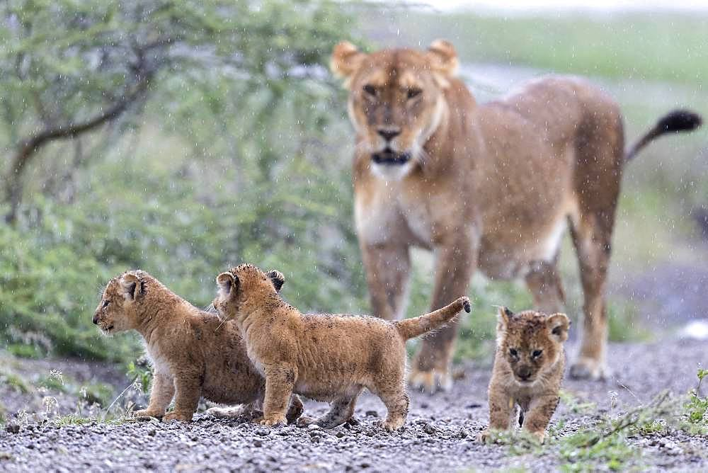 Lion (Panthera leo) lioness with cubs, Ngorongoro Conservation Area, Serengeti, Tanzania