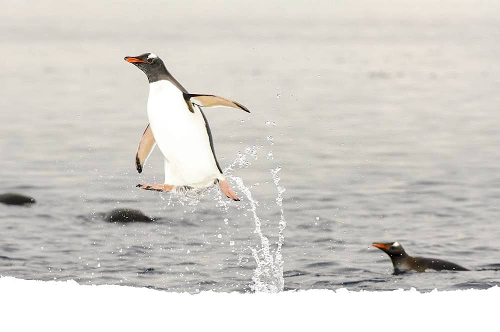Jumping out of the Gentoo Penguin (Pygoscelis papua) water landing on fixed pack ice, Antarctica