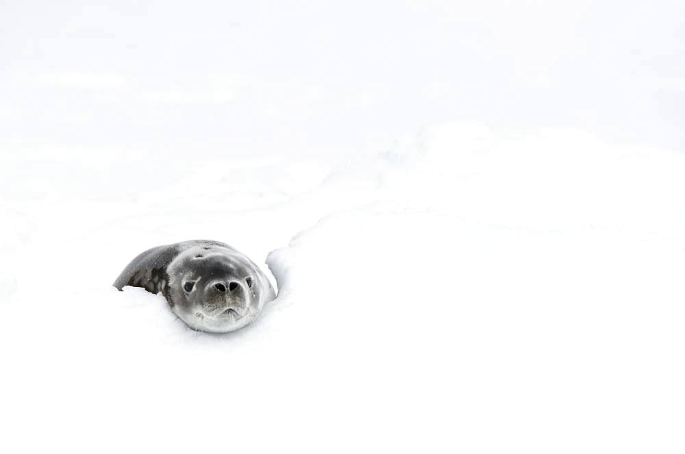 Casual attitude for this Weddell seal (Leptonychotes weddellii) on its pack ice, Antarctica