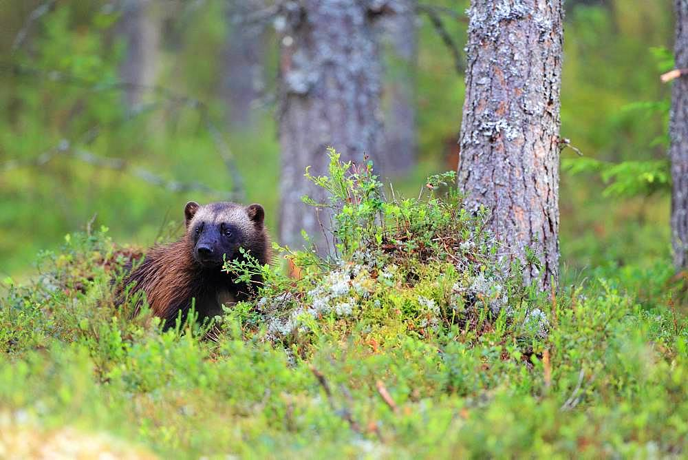 Wolverine (Gulo gulo) in the boreal forest