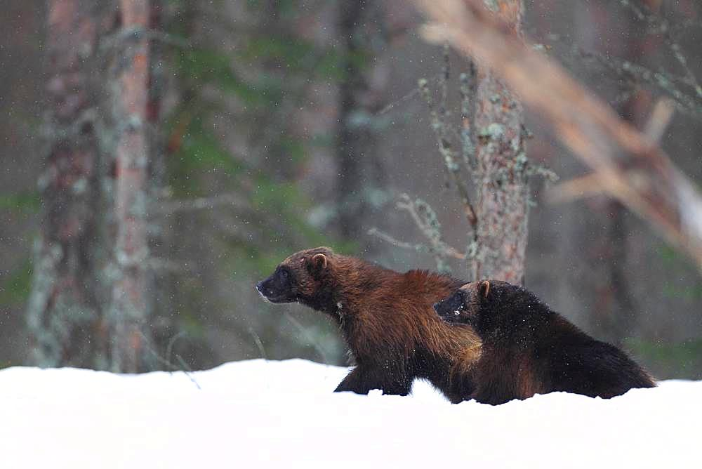 Wolverine (Gulo gulo) couple in the snow in the boreal forest