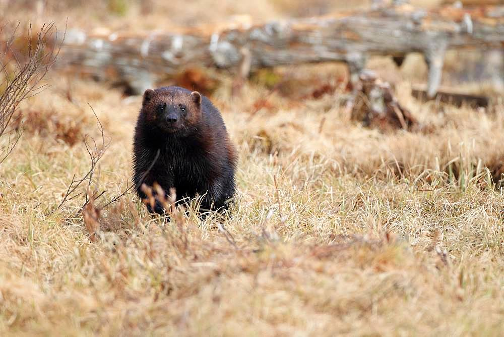 Wolverine (Gulo gulo) looking for food in the vegetation at the end of winter
