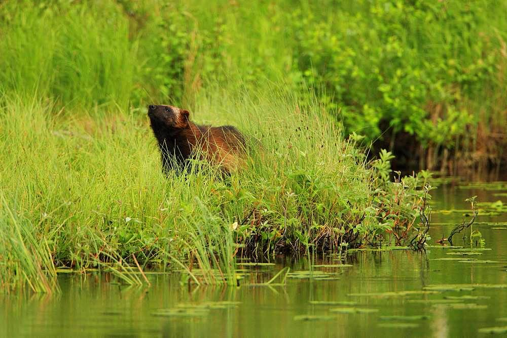 Wolverine (Gulo gulo) taking the wind to detect odors along a lake