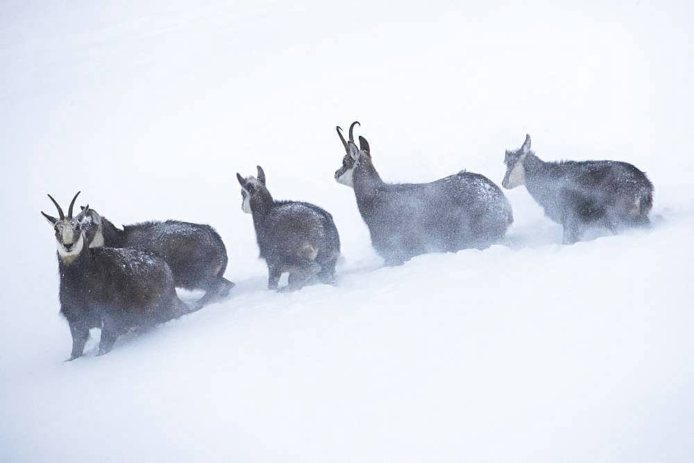 Alpine Chamois (Rupicapra rupicapra) in a snowstorm, Jura, Switzerland.