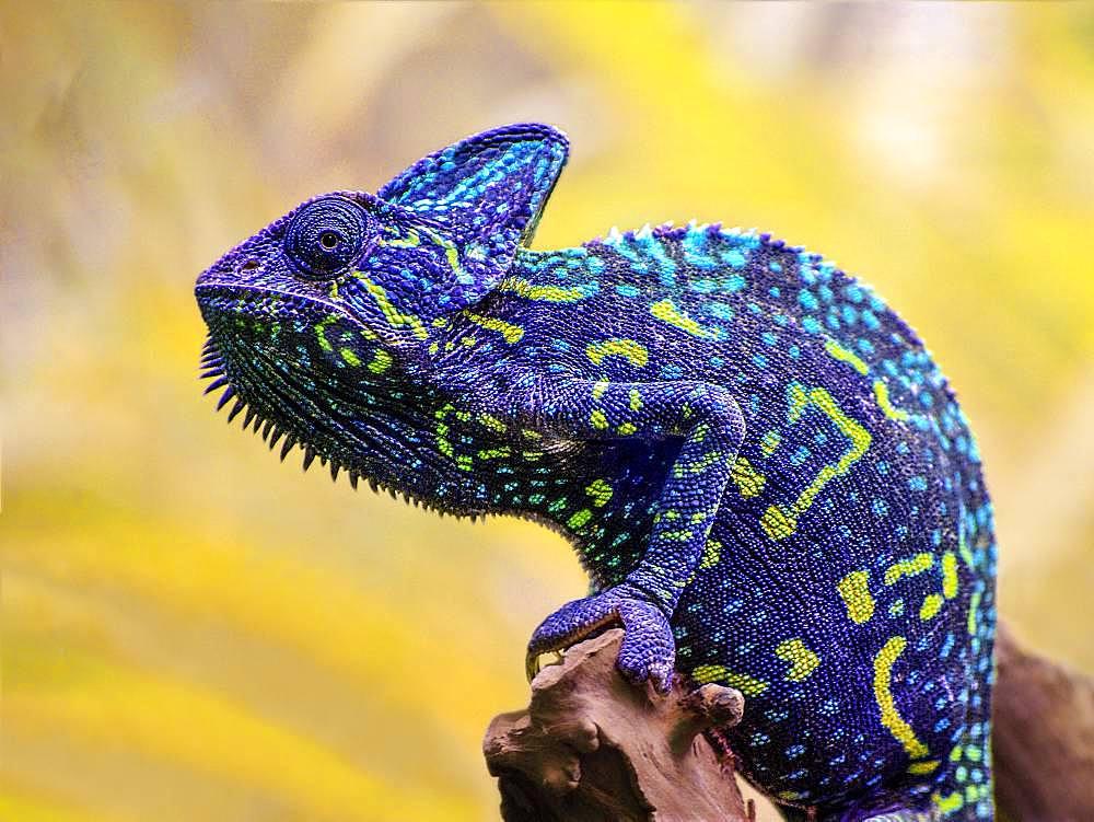 Portrait of Yemeni Chameleon (Chamaeleo calyptratus) on a branch, Alligator bay, Wildlife Park, Beauvoir, Normandy, France