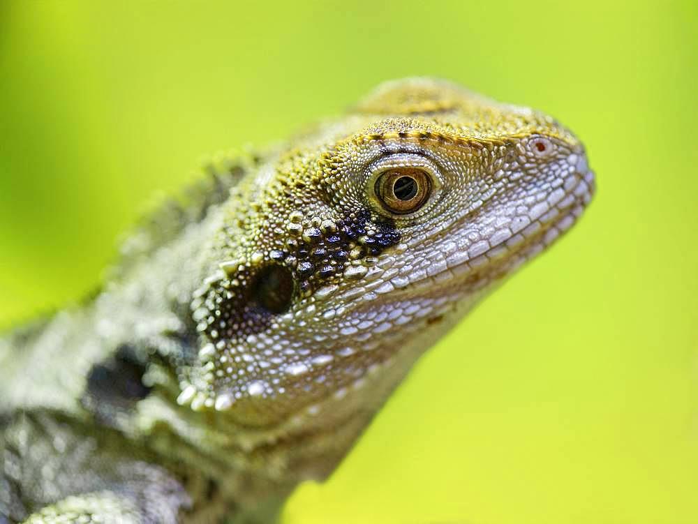 Eastern Water Dragon (Intellagama lesueurii) female on a branch in a vivarium. France