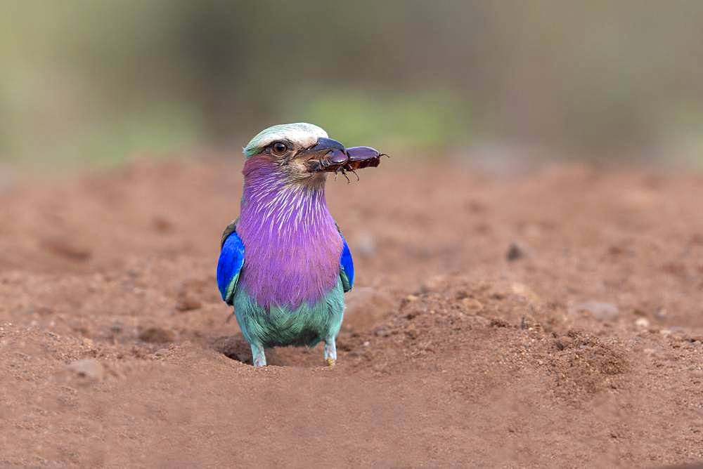 Lilac-breasted Roller (Coracias caudatus) eating an insect on the ground, KwaZulu-Natal, South Africa