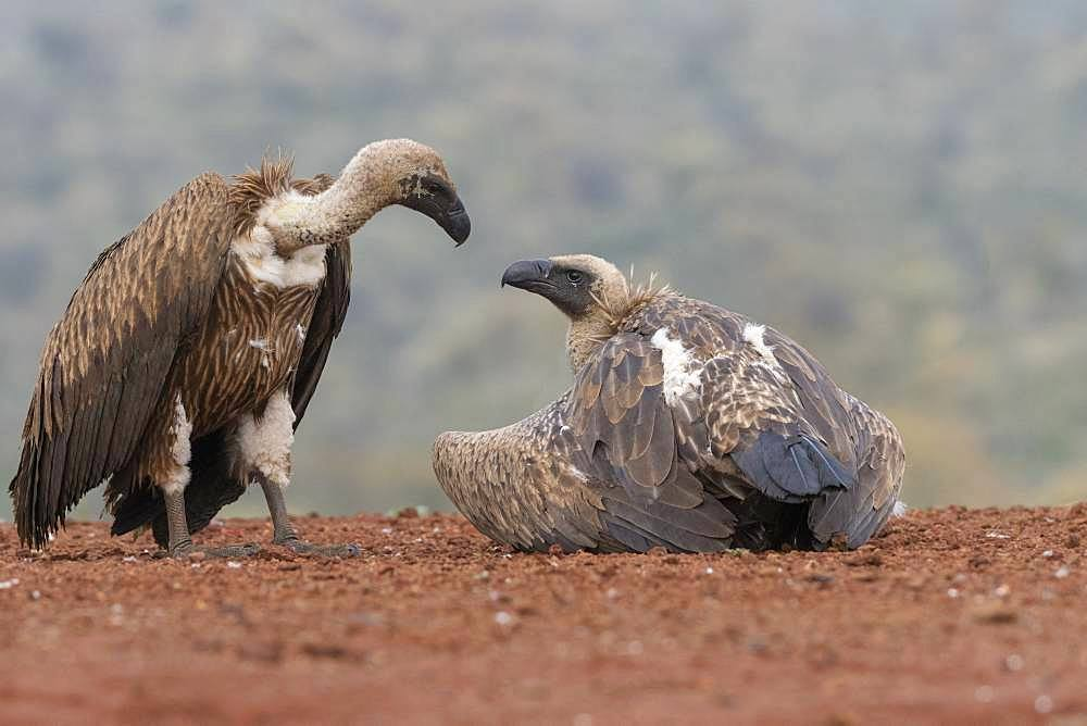 White-backed Vulture (Gyps africanus) at rest, KwaZulu-Natal, Afrique du Sud