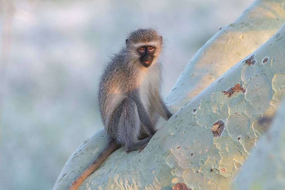 Vervet Monkey (Chlorocebus pygerythrus) on a branch, KwaZulu-Natal, South Africa