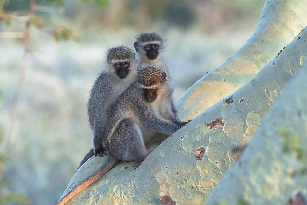 Vervet Monkey (Chlorocebus pygerythrus) group on a branch, KwaZulu-Natal, South Africa