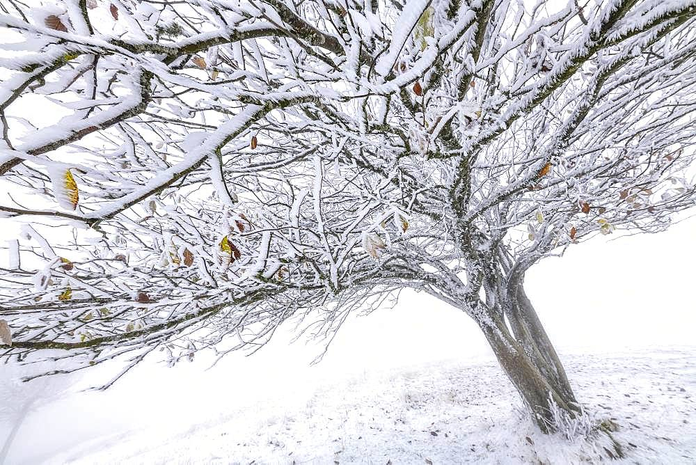 Wild Service-tree (Sorbus torminalis) in a squall of snow, Bugey, Massif du Grand Colombier, France