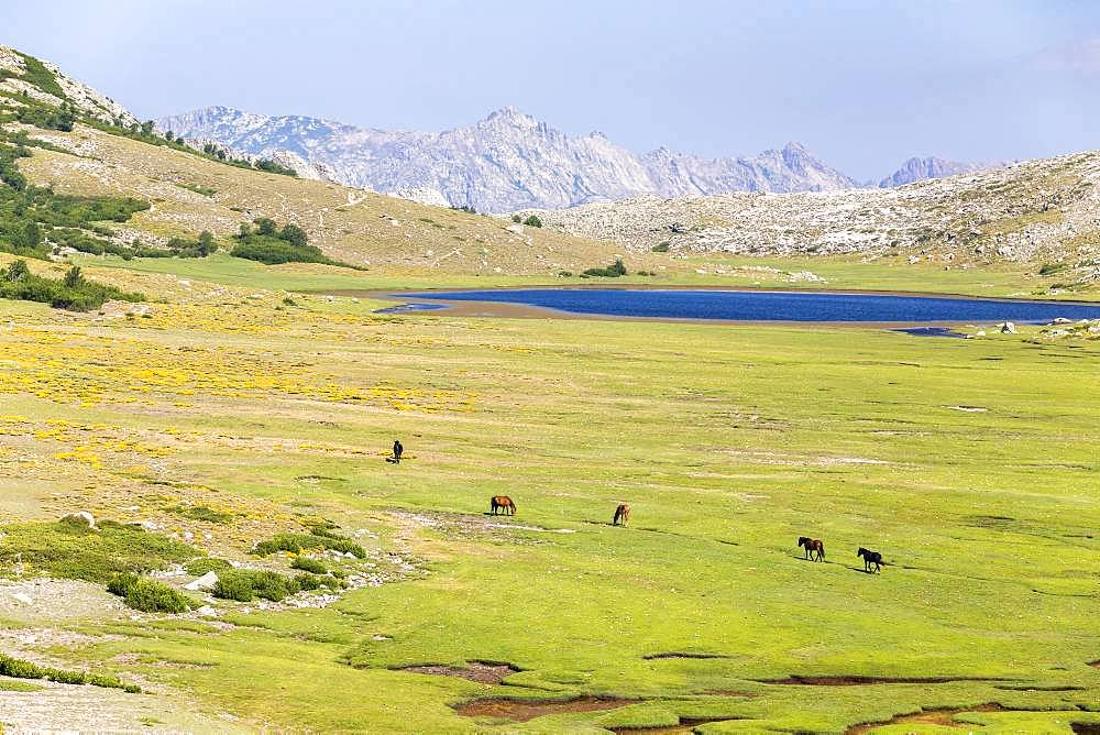 Lake Nino (1760m) stage on the GR 20 between the refuge of Manganu and the Col de Verghio or Castellu di Vergio, horses grazing the grass around the pozzines (small pools of water surrounded by grassy lawns), Haute-Corse, France