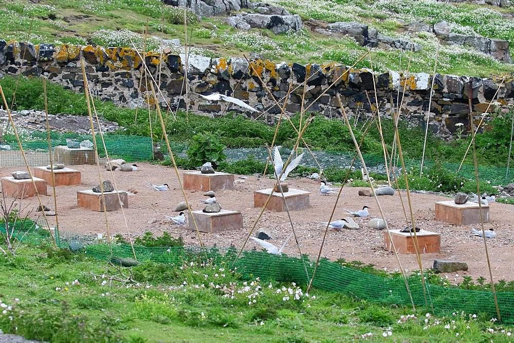 Protection of Arctic Terns, experimental device against gulls, Isle of May, Scotland