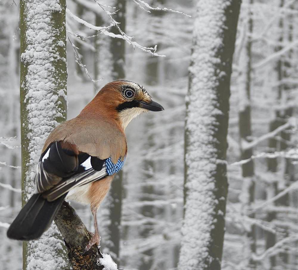 Eurasian Jay (Garrulus glandarius) on abranch in the snow, Regional Natural Park of Northern Vosges, France