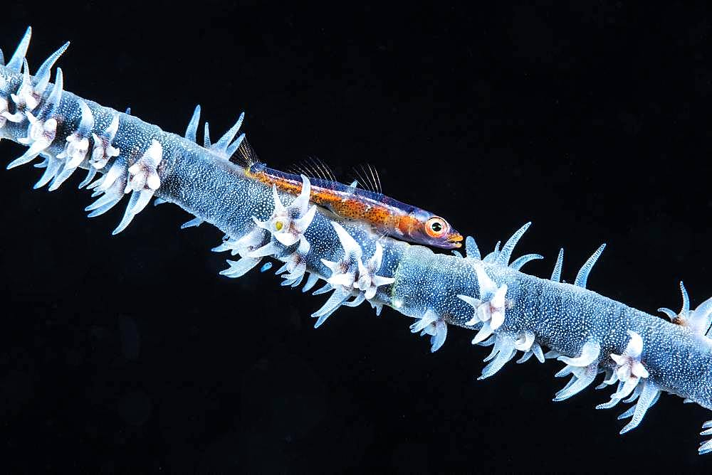 An antipatharian whip coral and its goby photographed at a depth of 76 meters. Are these the same specimens found in shallow depths?