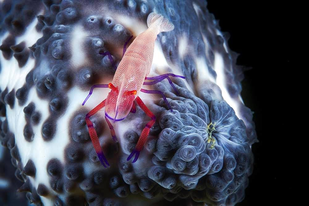 Imperial Shrimp (Periclimenes imperator) on a blue sea cucumber (Actinopyga caerulea) 76 meters deep, Mayotte