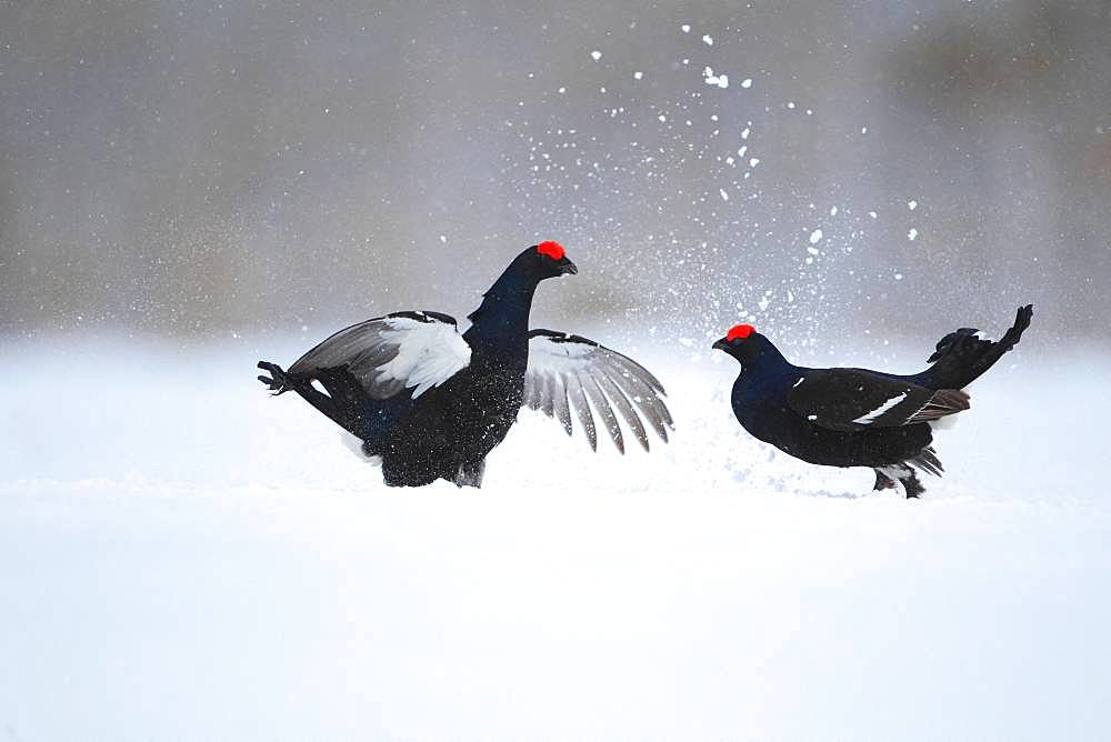 Black grouse (Lyrurus tetrix) fighting in lek in a snowy bog