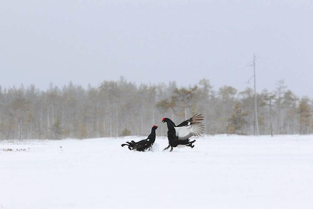 Black grouse (Lyrurus tetrix) fighting in lek in a snowy bog