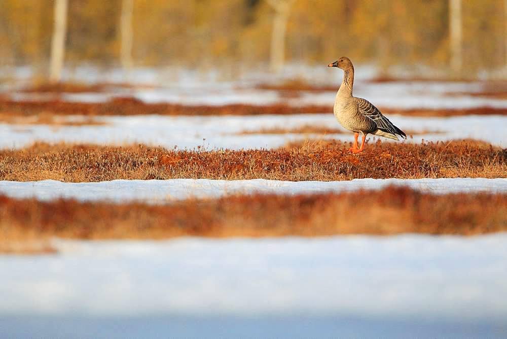 Tundra Bean Goose (Anser fabalis) on a bog covered with snow