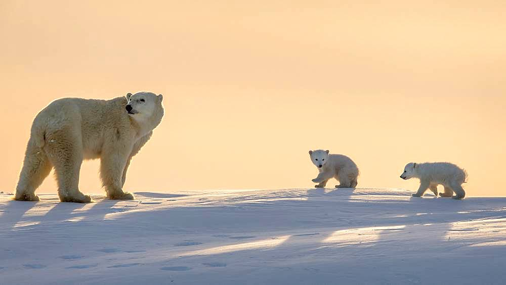 Polar bear (Ursus maritimus), (3 months twin cubs following their mum up on a ridge. Churchill, MB, Canada