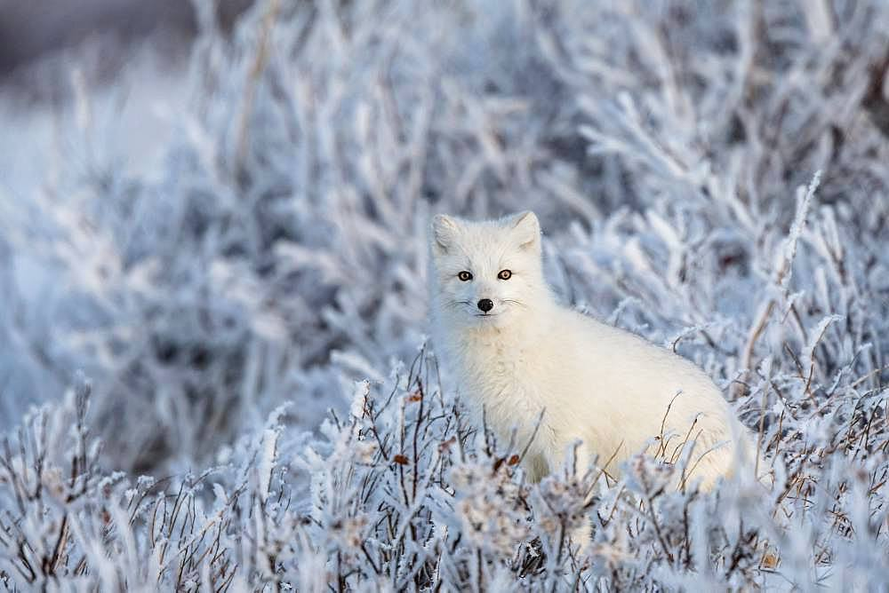 Arctic fox (Vulpes lagopus) An arctic fox in frozen willows. Churchill, MB, Canada.