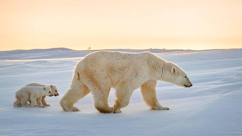 Polar bear (Ursus maritimus), 3 month old cubs following their mother. Churchill, MB, Canada