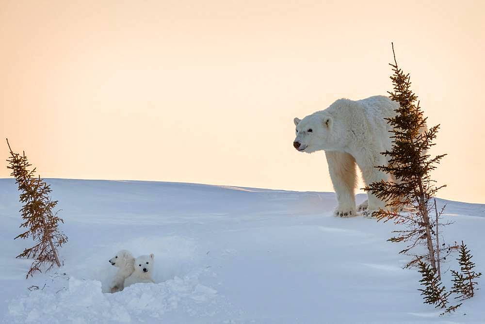 Polar bear (Ursus maritimus), 3 month old cubs in their den. Churchill, MB, Canada