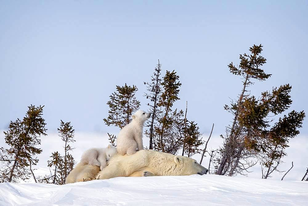 Polar bear (Ursus maritimus) Twin polar cubs on their mother's back. Churchill, MB, Canada,