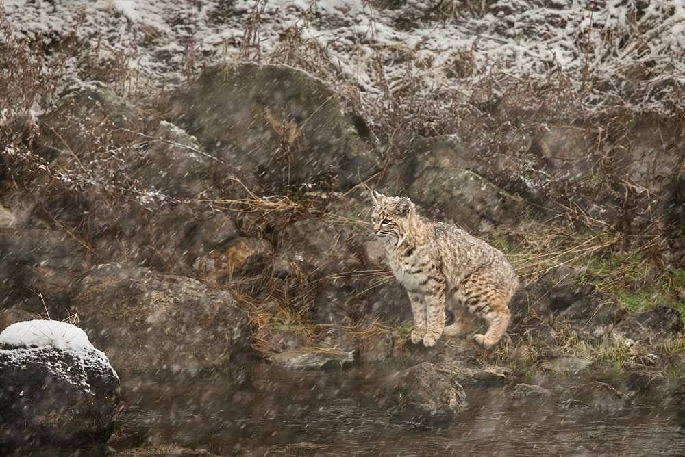 Bobcat (Lynx rufus) under snowstorm at Yellowstone NP. USA