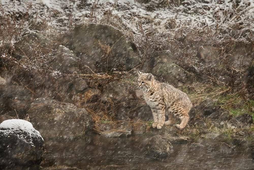 Bobcat (Lynx rufus) under snowstorm at Yellowstone NP. USA