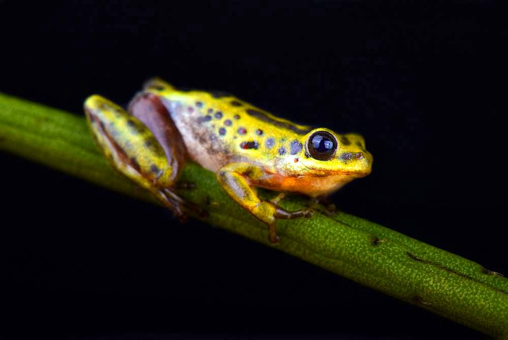 Common Reed Frog (Hyperolius viridiflavus variabilis)