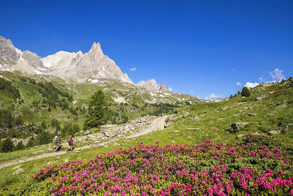 Vallee de La Claree, two hikers on the GR country of the Tour du Mont Thabor, flowering Rhododendron ferrugineux, in the background the Cerces massif (3093m), Nevache, Hautes-Alpes, France