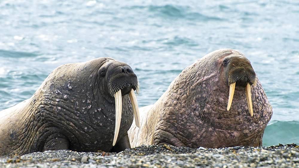 Walrus (Odobenus rosmarus) Males on a beach, Svalbard
