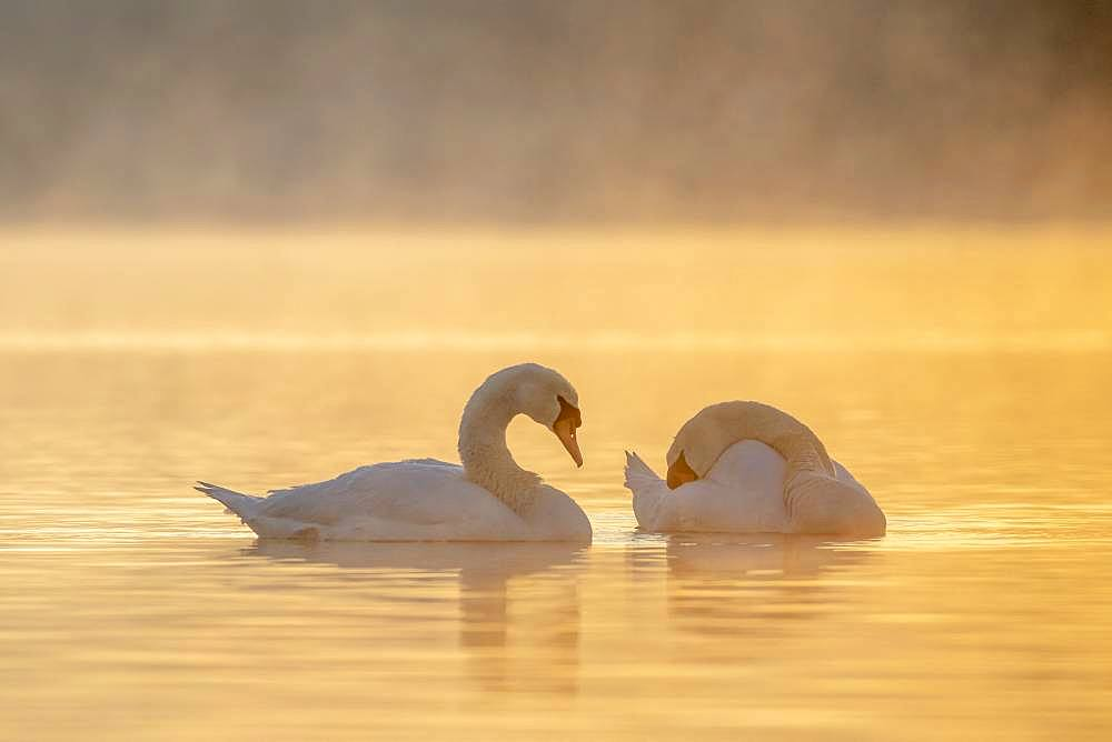 Mute Swan (Cygnus olor) on water at dusk, Plobsheim, Alsace, France