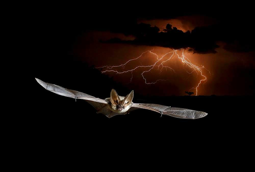 Common long-eared bat (Plecotus auritus) in flight in front of a storm at night, Salamanca, Castilla y León, Spain