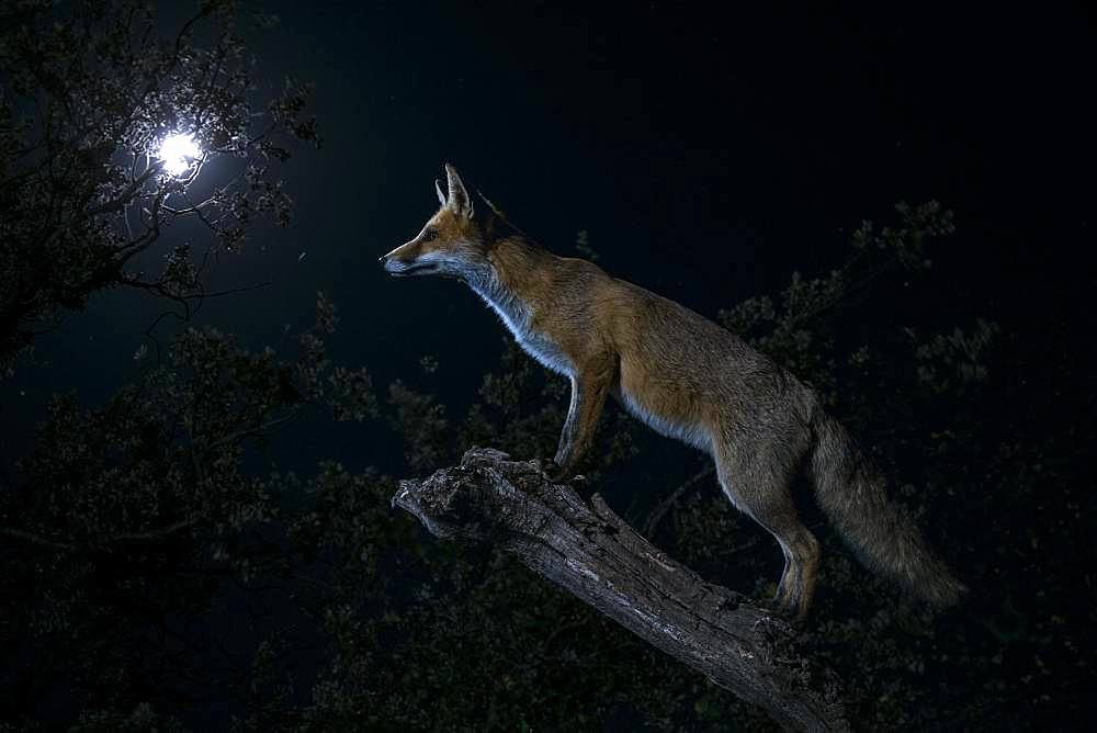 Red fox (Vulpes vulpes) under the moon, Spain