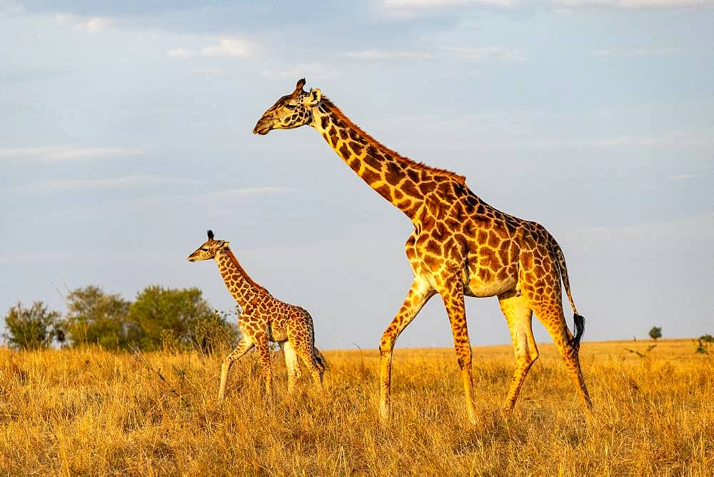 Masai Giraffe (Giraffa tippelskirchi), female and young, Masai-Mara National Reserve, Kenya
