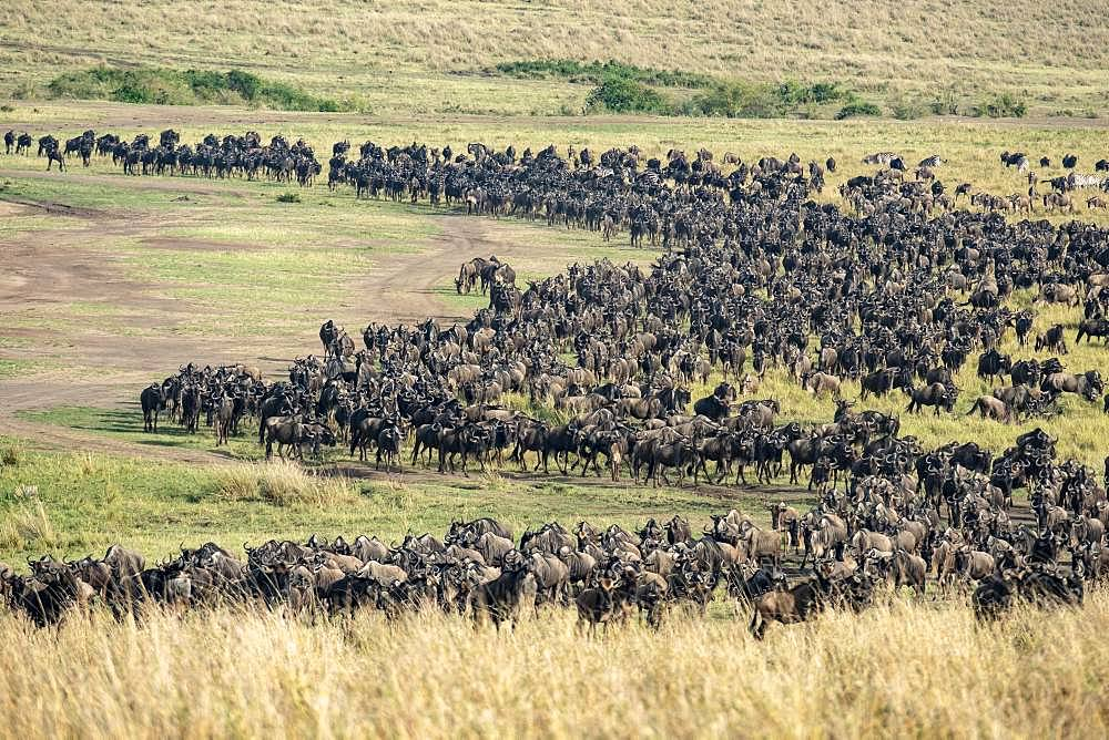 Blue wildebeest (Connochaetes taurinus), Migratory flock, Masai-Mara Reserve, Kenya
