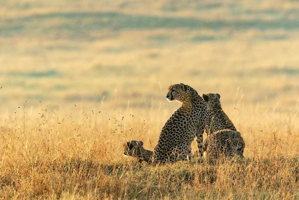 Cheetah (Acinonyx jubatus), female and youngat sunrise, Masai-Mara National Reserve, Kenya