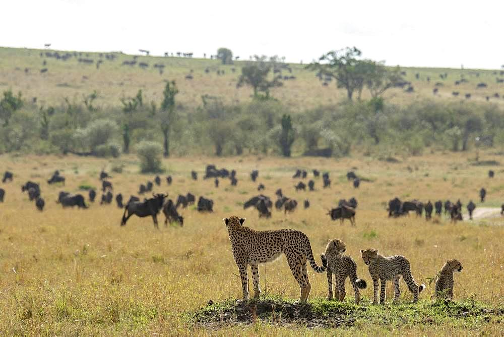 Cheetah (Acinonyx jubatus), female and young looking at wildebeest in the plain, Masai-Mara National Reserve, Kenya