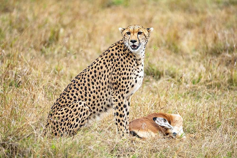 Cheetah (Acinonyx jubatus), female calling her young to eat, Masai-Mara National Reserve, Kenya
