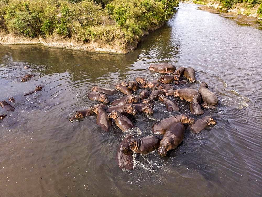 Hippopotamus (Hippopotamus amphibius), Troop in Mara River seen from drone, Masai-Mara Reserve, Kenya