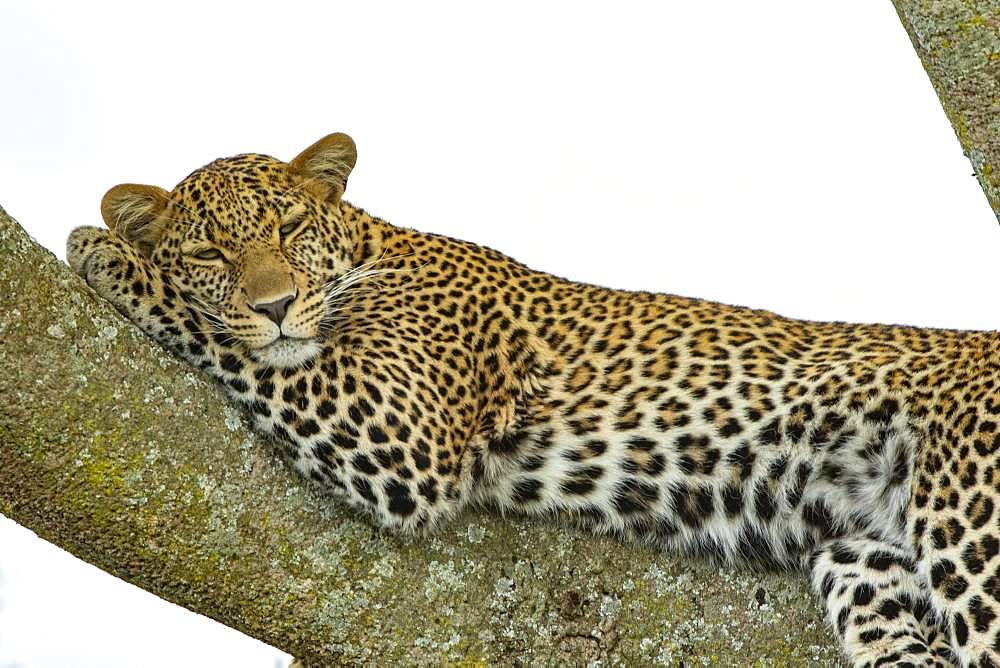 Leopard (Panthera pardus), female at rest, Masai-Mara National Reserve, Kenya