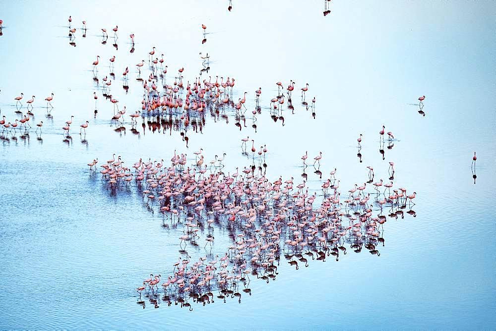 lesser flamingoes (Phoeniconaias minor), beginning a courtship display, aerial wiew, lake Magadi, Kenya - 860-287683