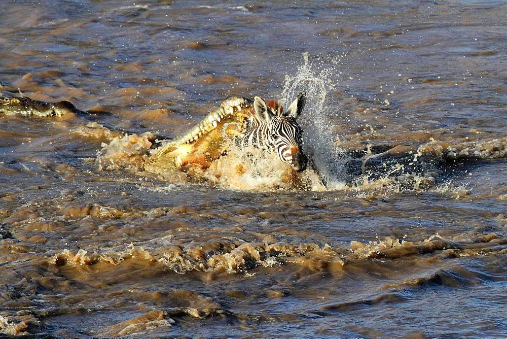 Nile Crocodile (Crocodylus niloticus) attacking a young Buechell's Zebra (Equus quagga burchellii) during the crossing of the Mara River, Masai Mara, Kenya