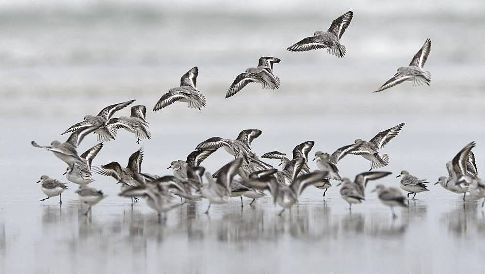 Sanderling (Calidris alba) landing, Morlaix bay, Brittany, France