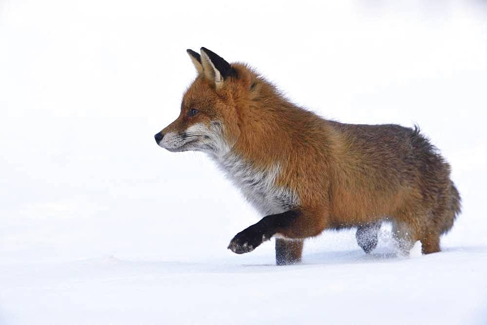 Red fox (Vulpes vulpes) in the snow, Vosges, France